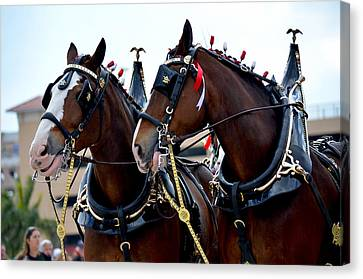 Canvas Print featuring the photograph Clydesdales 2 by Amanda Vouglas