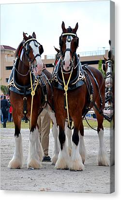Canvas Print featuring the photograph Clydesdales 3 by Amanda Vouglas