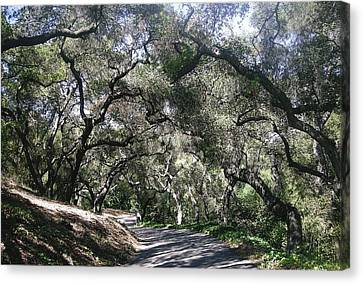 Coast Live Oaks Canvas Print