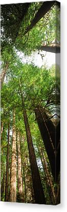Coast Redwood Sequoia Sempivirens Trees Canvas Print by Panoramic Images