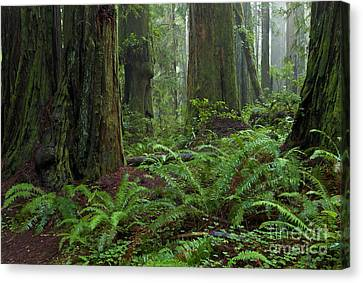 Coast Redwoods And Ferns In Redwood Canvas Print by Yva Momatiuk and John Eastcott