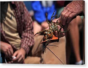 Coastal Maine Is Lobster Canvas Print by Karol Livote