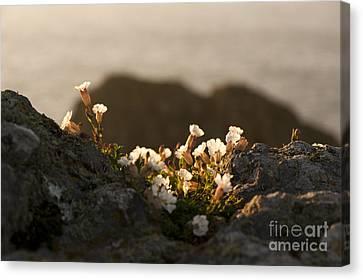 Close Focus Floral Canvas Print - Coastal Sea Campion by Anne Gilbert