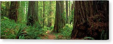 Coastal Sequoia Trees In Redwood Forest Canvas Print by Panoramic Images