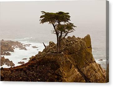 Coastline Cypress Canvas Print
