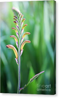 Yellow Cobra Canvas Print - Cobra Lily by Neil Overy