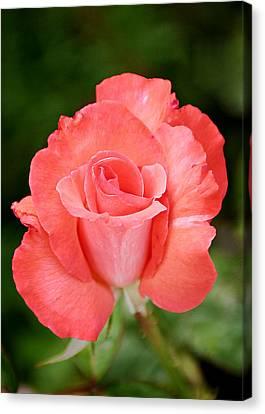Cobra Rose  Canvas Print