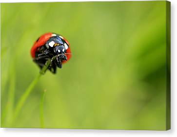 Coccinellidae  Canvas Print