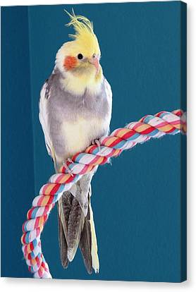 Cockatiel Canvas Print