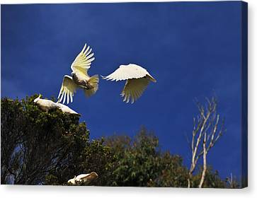 Cockatoos On The Wing Canvas Print