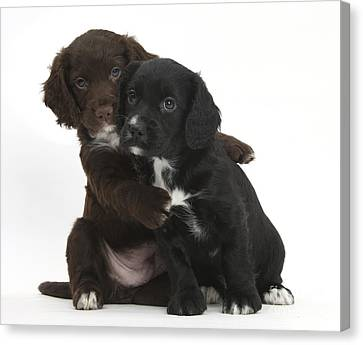 Cocker Spaniel Puppies Canvas Print