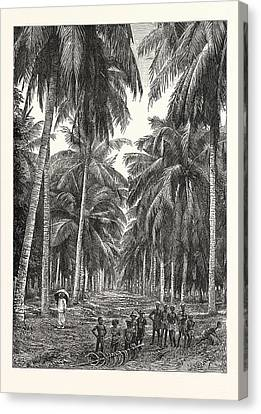 Plantation Canvas Print - Cocoa-nut Plantation In Ceylon by Sri Lankan School