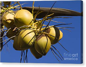 Canvas Print featuring the photograph Coconut 1 by Teresa Zieba