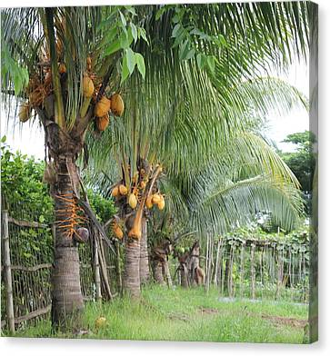 Canvas Print featuring the photograph Coconut Trees by Lorna Maza