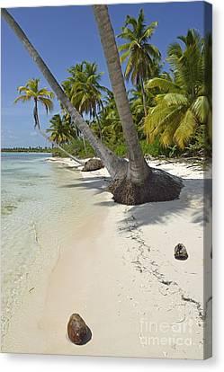 Coconuts On Pristine Tropical Beach Canvas Print by Sami Sarkis