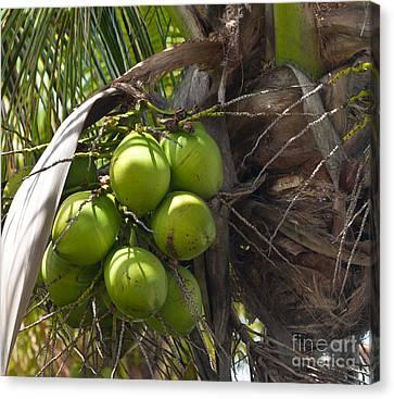 Coconuts Proliferate Canvas Print by Michelle Wiarda