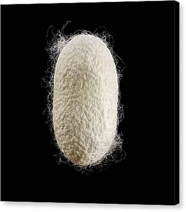 Cocoon Of Silk Canvas Print by Science Photo Library