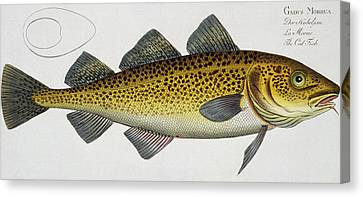 Cod Canvas Print by Andreas Ludwig Kruger
