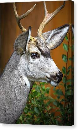 Cody, Wyoming Close-up Of A Mule Deer Canvas Print