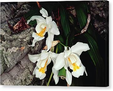 Coelogyne Cristata Epiphytic Orchid Canvas Print by Michael R Chandler