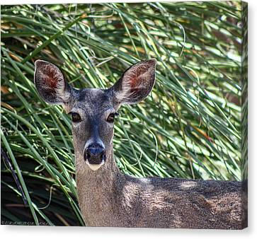 Canvas Print featuring the photograph Coes Deer by Elaine Malott
