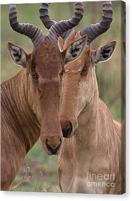 Canvas Print featuring the photograph Cokes Hartebeests by Chris Scroggins