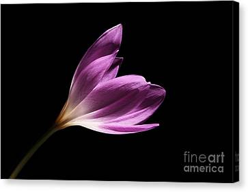 Canvas Print featuring the photograph Colchicum  by Judy Whitton
