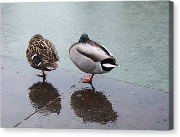 Cold And Rainy Weather Two Ducks Taking A Nap Canvas Print