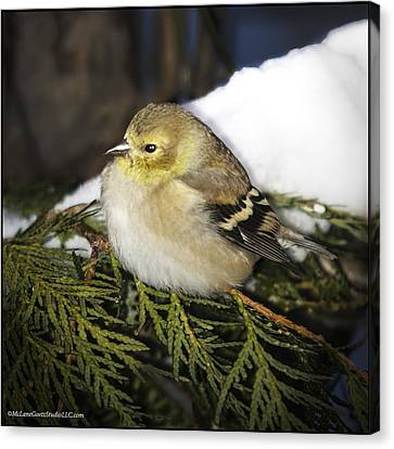 Cold Golden Finch Canvas Print