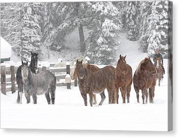 Cold Ponnies Canvas Print by Diane Bohna