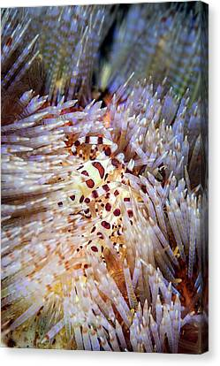 Coleman's Shrimp On A Sea Urchin Canvas Print by Ethan Daniels