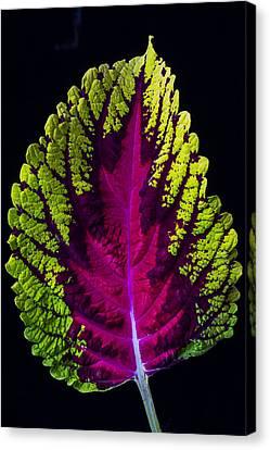 Coleus Leaf Canvas Print by Garry Gay