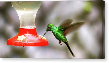 Colibri Hummingbird On Bird Feeder Canvas Print by Panoramic Images