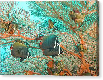 Collare Butterflyfish (chaetodon Collare Canvas Print