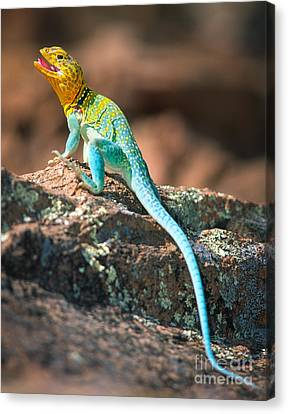 Collared Lizard Canvas Print by Inge Johnsson