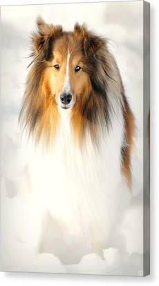 Collie  Canvas Print by Diana Angstadt