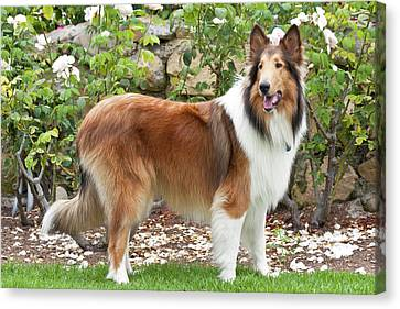 Collie Standing In Front Of White Roses Canvas Print