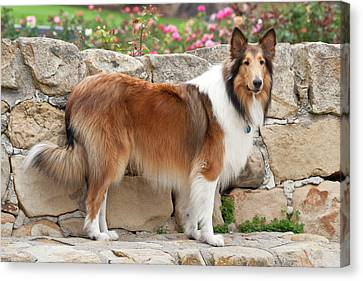 Collie Standing On A Sandstone Bench Canvas Print