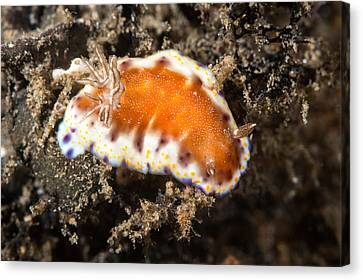 Collingwood Canvas Print - Collingwoods Chromodoris Nudibranch by Andrew J. Martinez