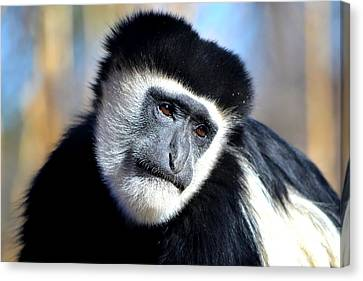 Canvas Print featuring the photograph Colobus Contemplation by Deena Stoddard