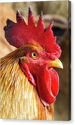Colombia, Minca Domestic Rooster Canvas Print by Matt Freedman