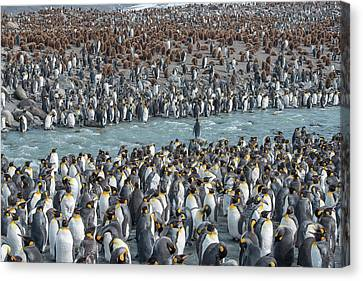Colony Of King Penguins, Aptenodytes Canvas Print