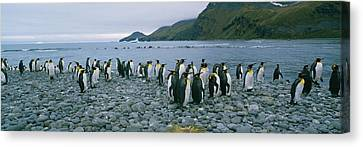 Colony Of King Penguins On The Beach Canvas Print by Panoramic Images