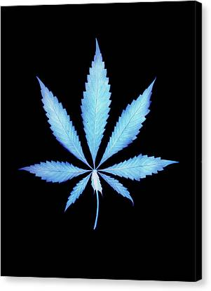 Color Photogram Print Of A Cannabis Leaf Canvas Print