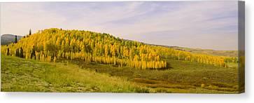 Colorado Aspens Canvas Print by Brian Harig
