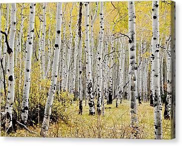 Canvas Print featuring the photograph Colorado Aspens by Geraldine Alexander