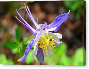 Colorado Blue Columbine Flower Canvas Print