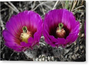 Colorado Cactus Canvas Print