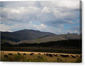 Canvas Print featuring the photograph Colorado Cattle Graze by Shirley Heier