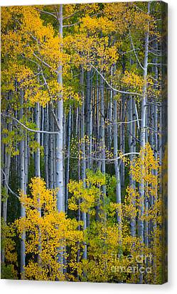 Colorado Fall Color Canvas Print by Inge Johnsson